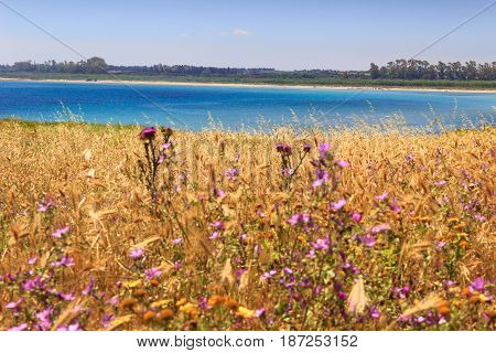 Summertime: Torre Guaceto Nature Reserve (Apulia)-ITALY- The nature sanctuary between the land and the sea:sandy beach set among purple wild flowers, turquoise crystalline sea, green lush vegetation