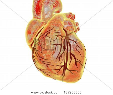 Human heart with heart vessles isolated on white background, 3D illustration