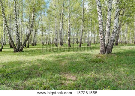 Birches. Birch Wood. It Is A Lot Of Birches.