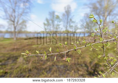 Tree Twig With Leaves