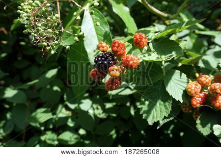 Blackberries ripen on thornless blackberry plants in a garden in Joliet, Illinois during July.