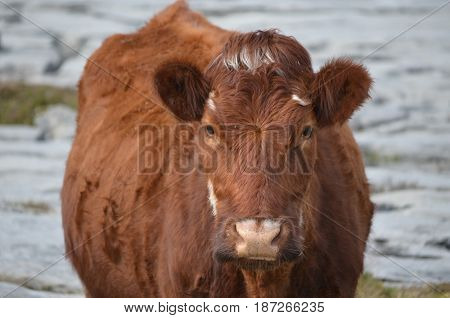 Sweet faced brown cow standing on the Burren in Ireland.
