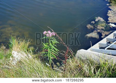 Swamp milkweed (Asclepias incarnata), also known as rose milkweed, rose milkflower, swamp silkweed, and white Indian hemp, blooms beside the opening of a culvert on a small lake in Joliet, Illinois during August