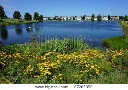 Black-eyed susan flowers (Rudbeckia hirta) bloom next to a small lake in Joliet, Illinois during August.
