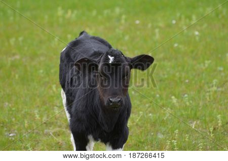 Sweet faced black and white calf in early spring.
