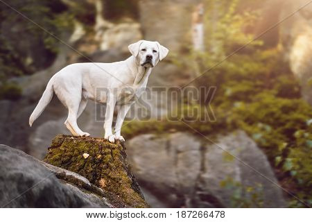 young cute labrador retriever dog puppy in the forest during a hike