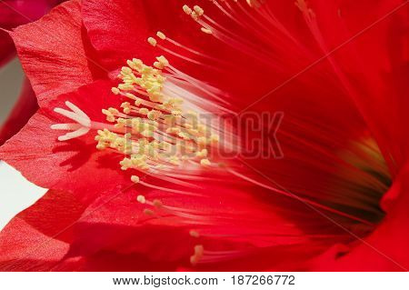 Red cactus flower , natural background with houseplant