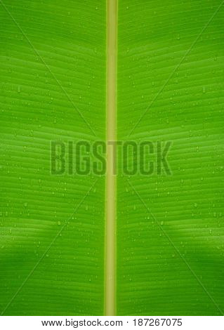 Beautiful green banana leaf with texture or background