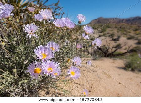 Blooms of Mojave Aster in California Desert after a rainy winter