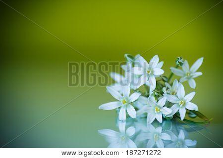Ornithogalum umbellatum .Beautiful white flowers on a green background