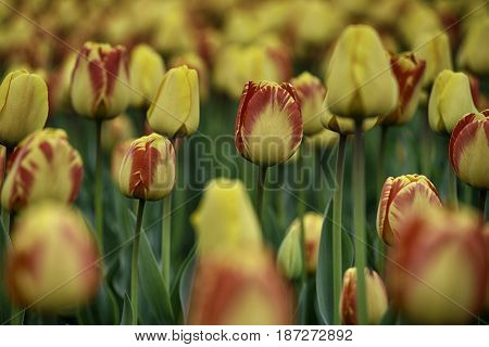 Yellow and orange Tulips on a field