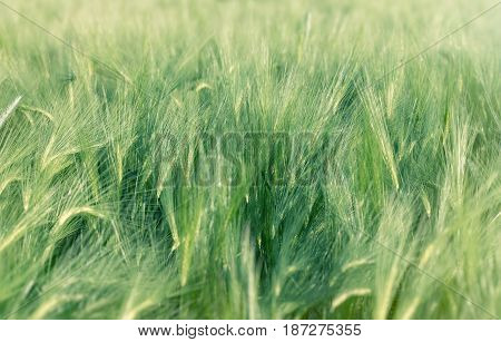 Unripe field of agricultural crops ( wheat, oat, rye, barley)