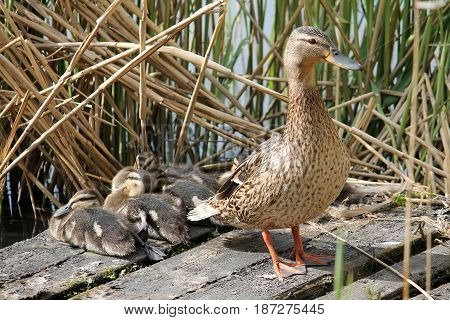 Female mallard or wild duck (Anas platyrhynchos) with ducklings