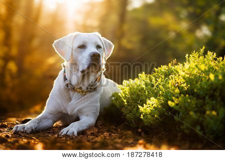 young cute white labrador retriever dog puppy in the forest during the golden sunset