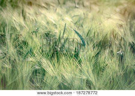 Wheat, oat, rye, barley - unripe field of agricultural crop