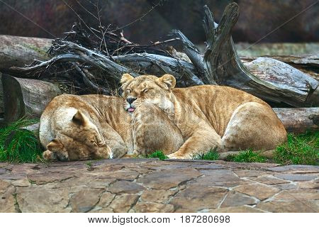 Two lionesses sleeping at the tree leaning against each other.