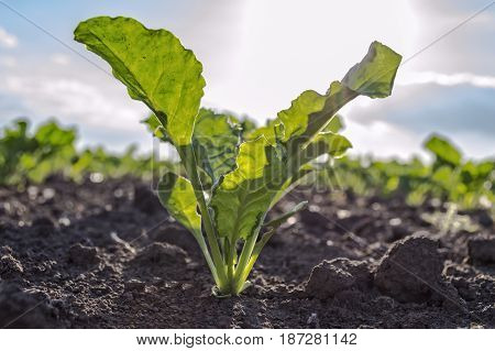 Young sugar beet plant in field selective focus.