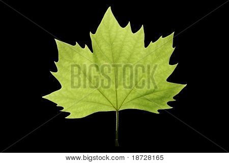 isolated green  leaf with black background