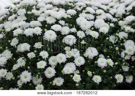 Flora background of white flowering bush in blossom