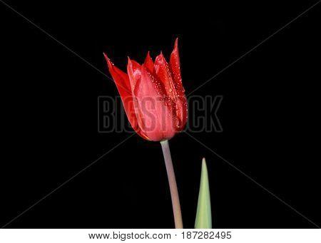 Red Tulip flower against black background