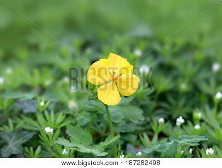 Close up shot of evening Primrose flower