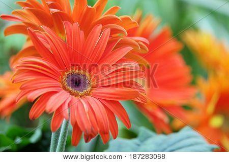 Beautiful orange gerbera on a blurred background