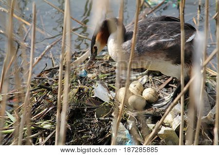 Great crested grebe (Podiceps cristatus) at nest with eggs. Bird's nest built of garbage. Impact of environmental pollution