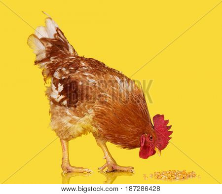 Brown rooster eat cereal grain on yellow background, live chicken, one closeup farm animal