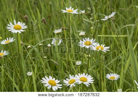 Nature Background with blossoming daisy flowers. Flower meadow Summer with selective focus.