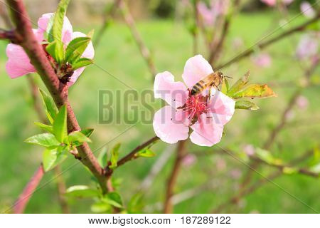 Bee On Peach Flower. Beekeeping