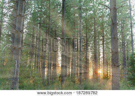 Sunlight Shinning Through the Trees in the Forest