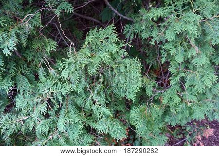 The leaves of a northern white cedar tree (Thuja occidentalis) growing in Spring Lake Park, between Harbor Springs and Petoskey, Michigan, during August.