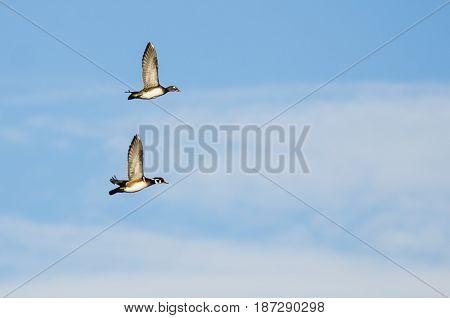 Pair of Wood Ducks Flying in a Blue Sky