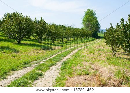 Hazel Cultivation, Langhe, Italy