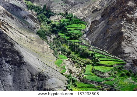 High mountains valley: in the valley of the terrace green fields of rice and barley steps down at the sides of the gray slopes of the hills bright contrast the Himalayas Northern India.