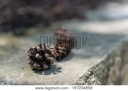 Three Fir Cones Just Fallen From The Pine Laying In A Row