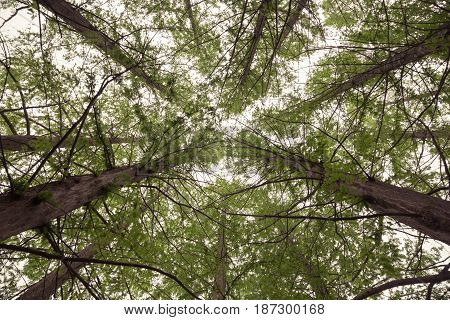 Looking up at dawn redwood trees in the forest.
