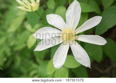 A beautiful white clematis in full bloom.