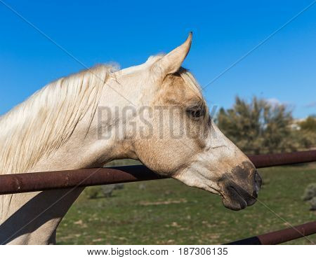 Healthy white horse looks over the railing of a fence.