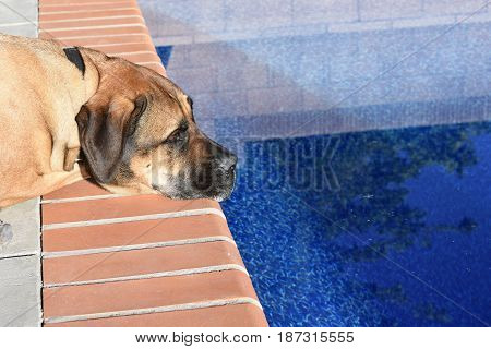 Mastiff is glazing into the pool on a sunny day