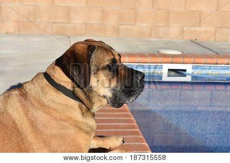 Mastiff is laying next to a pool and is alert