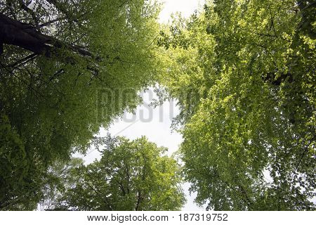 Beech tree peaks seen from below in a spring forest in Denmark