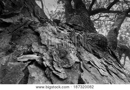 Perspective image of high up tree root towards sky in a forest beautiful winter morning scene. Perspective of fading away in sky. Focus stacked nature image black and white