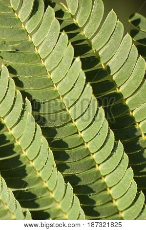 Mimosa plant leaf with leaflets open under the sun