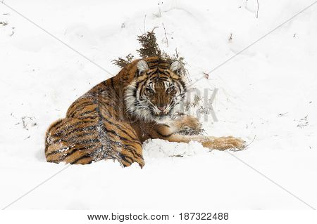 Amur (siberian) Tiger, Angry, In Deep Snow, Rear View