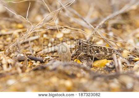 Brown locust camouflage on same color pattern ground