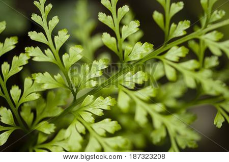 Detail of green fern leaf in diffused light