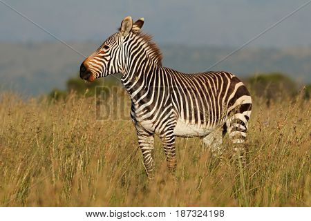 Cape mountain zebra (Equus zebra) in grassland, Mountain Zebra National Park, South Africa