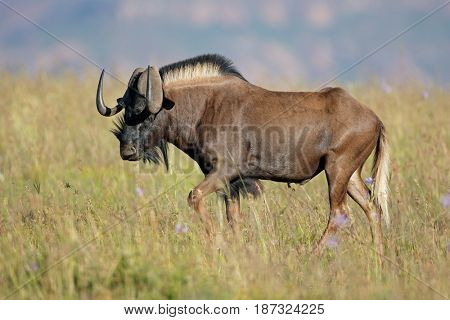 Male black wildebeest (Connochaetes gnou) in grassland, South Africa