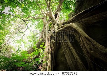 Old big tree in tropical forest under sunlight